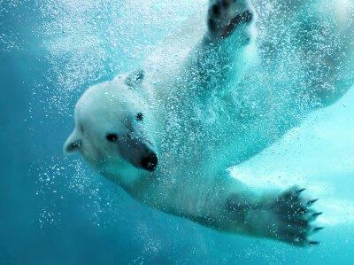 Quadro Urso polar ataque subaquática