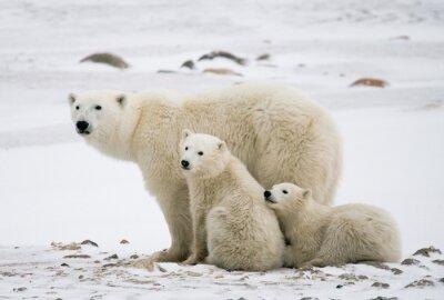 Quadro Urso polar com filhotes na tundra. Canadá. Uma excelente ilustração.