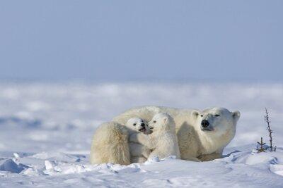 Quadro urso polar com os filhotes