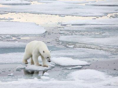 Quadro Urso polar no ambiente natural