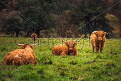 Quadro Vaca escocesa das montanhas no campo com chifres grandes e cabelos longos, Escócia.