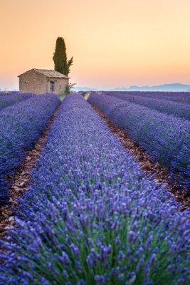 Quadro Valensole, Provence, França. Lavender field cheio de flores roxas