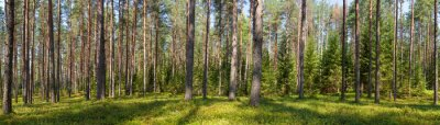 Quadro Verão, conifer, floresta, panorama