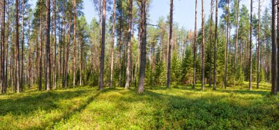 Quadro Verão, pinho, floresta, panorama