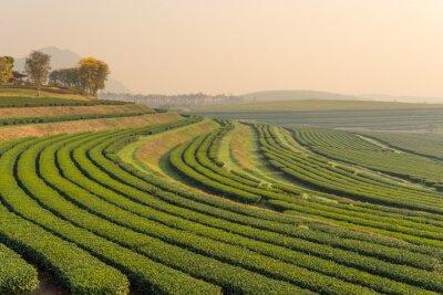 Quadro Verde, chá, fazenda, padrão, manhã