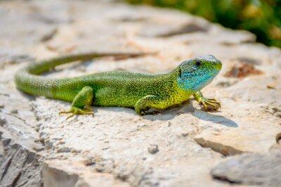 Quadro Verde, esmeralda, gecko, lagarto, sunbathing, rocha