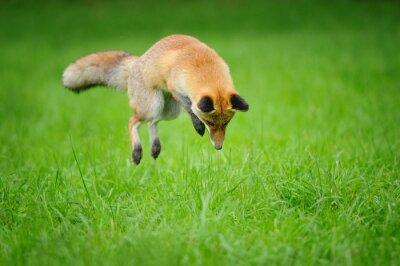 Quadro Vermelho, raposa, caça, mousing, capim, frente, lado, vista