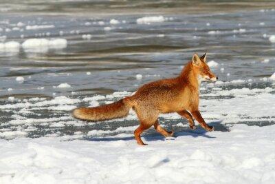Quadro Vermelho, raposa, Executando, gelo