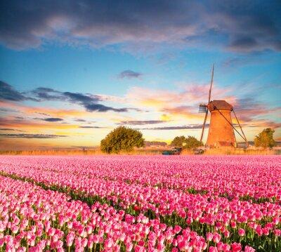 Quadro Vibrante, tulips, campo, holandês, moinho de vento