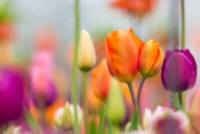 Quadro Vista bonita de tulipas coloridas.