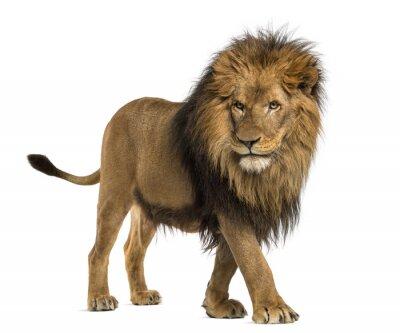 Quadro Vista lateral de um leão andando, Panthera Leo, 10 anos de idade