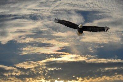 Quadro Vôo da águia calva sobre Alaska