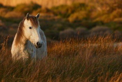 Quadro White horse of Camargue