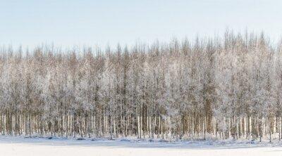Quadro Winery, vidoeiro, árvores, finland