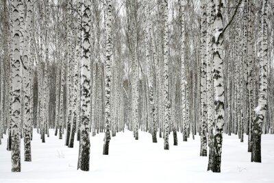 Quadro Winter birch forest