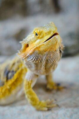 Quadro Yelow dragão barbudo